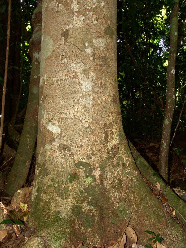 Locust Bark - Jatoba - Stinking Toe