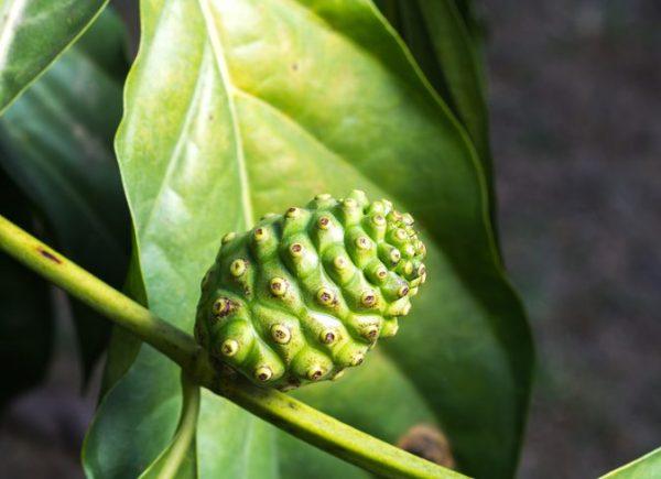 Noni Morinda Citrifolia Leaves & Tea