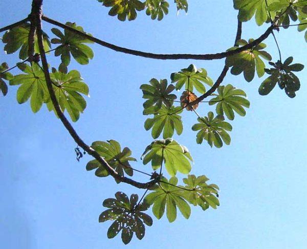 Trumpet Tree - Congo Pump - Cecropia peltata